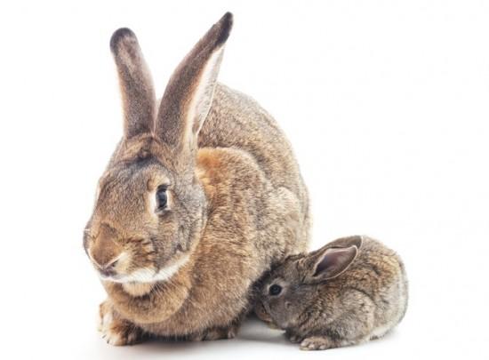태반 포유동물인 토끼는 한 달 정도 임신 기간을 거쳐 출산한다. - Gettyimages Bank 제공
